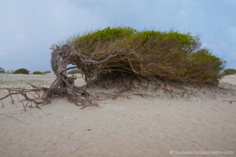 Wind swept tree in Jericoacoara