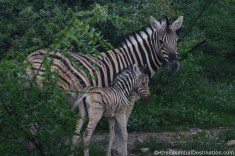 Etosha zebra with baby