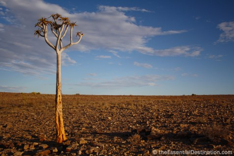 Namibia tree