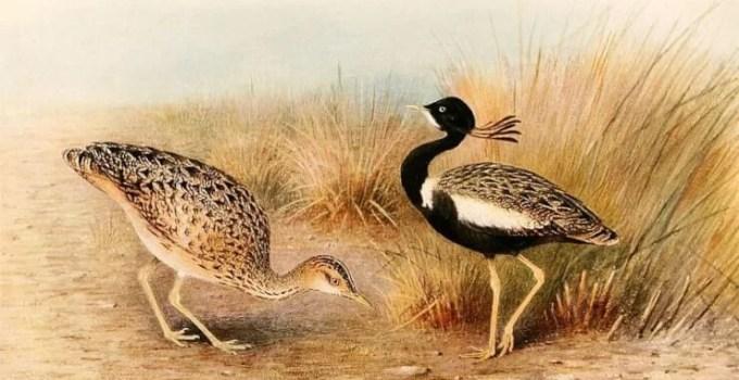 Facts about Lesser Florican Bird