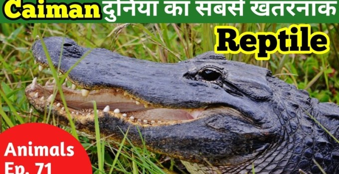 Caiman in hindi - facts about caiman in hindi