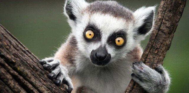 35 Fun Facts About Lemurs