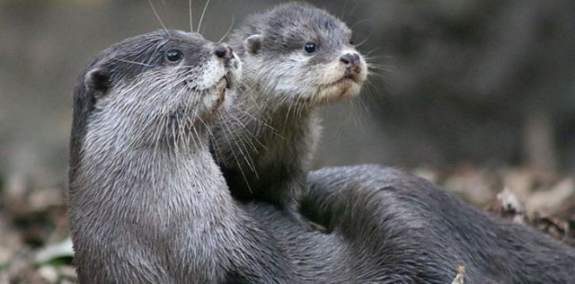 Otters are very social animals.