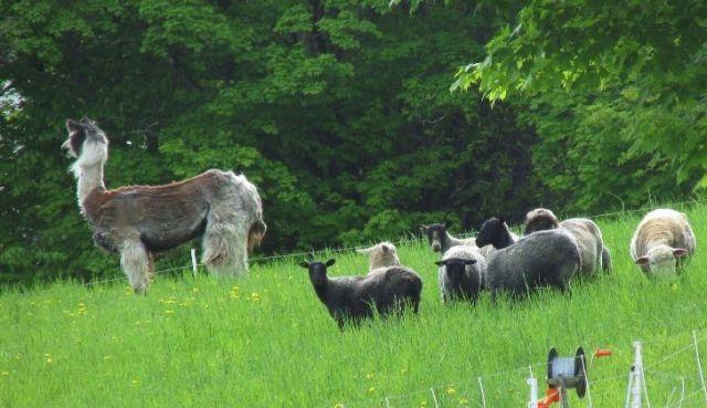 A llama standing tall and protecting smaller sheep behind.