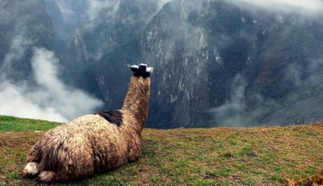 A llama looking across mountains.