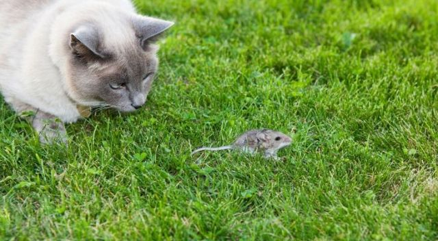 A cat hunting a mouse in the grass