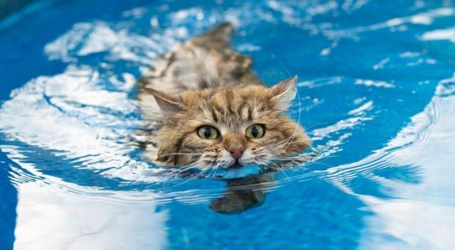 A cat swimming in a pool