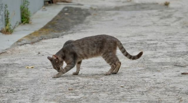 A feral cat licking its paw on an empty road