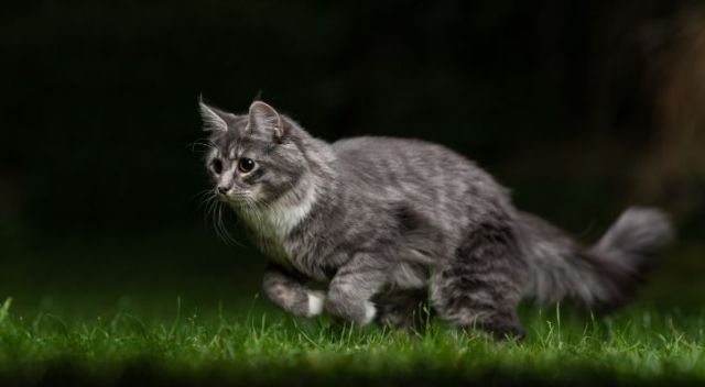 A gray cat running through green grass