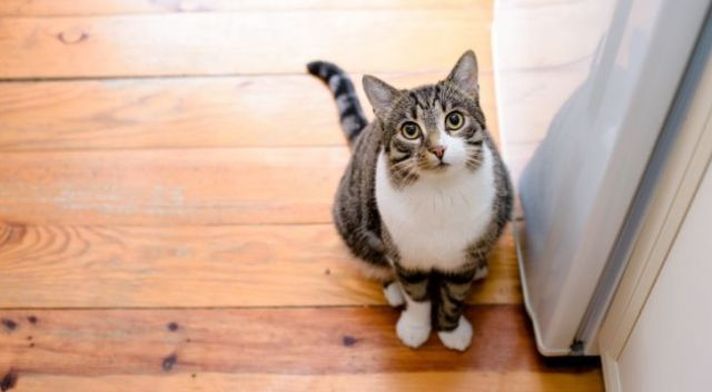 A cat looking upwards, whilst sat on a wooden floor