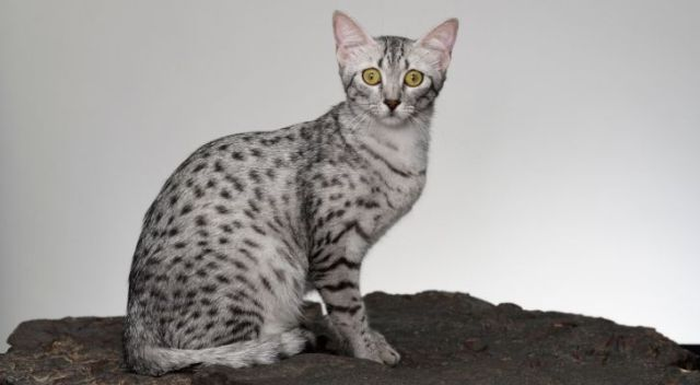 The oldest cat breed