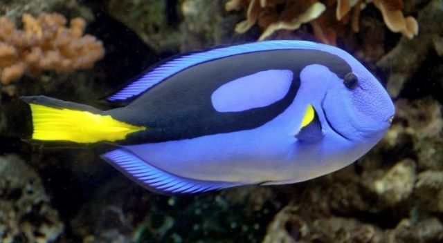 Never eat a blue tang as they can make you pretty sick