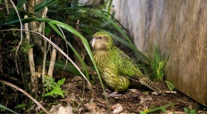 A little green kakapo bird