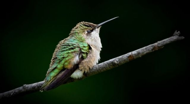 A green hummingbird sleeping on a tree branch
