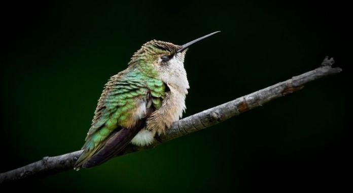 A green hummingbird sleeping on a tree branch