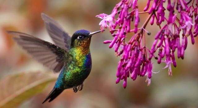 A brightly colored hummingbird eating purple flowers