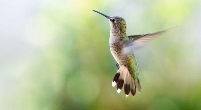 A flying hummingbird with its wings backward