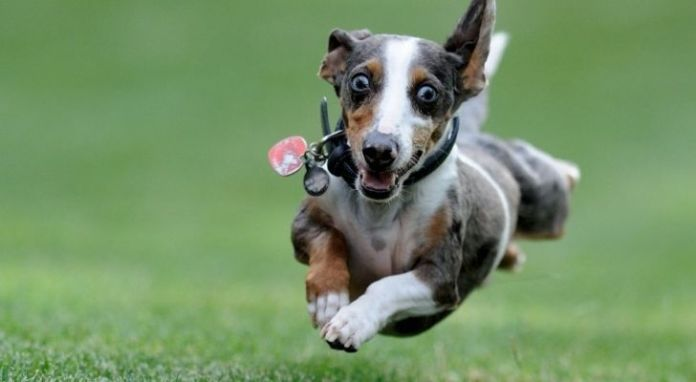 A dog running away