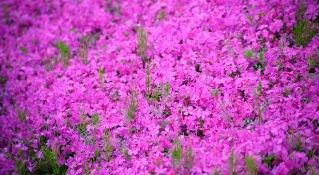 Pink phlox flowers in full bloom