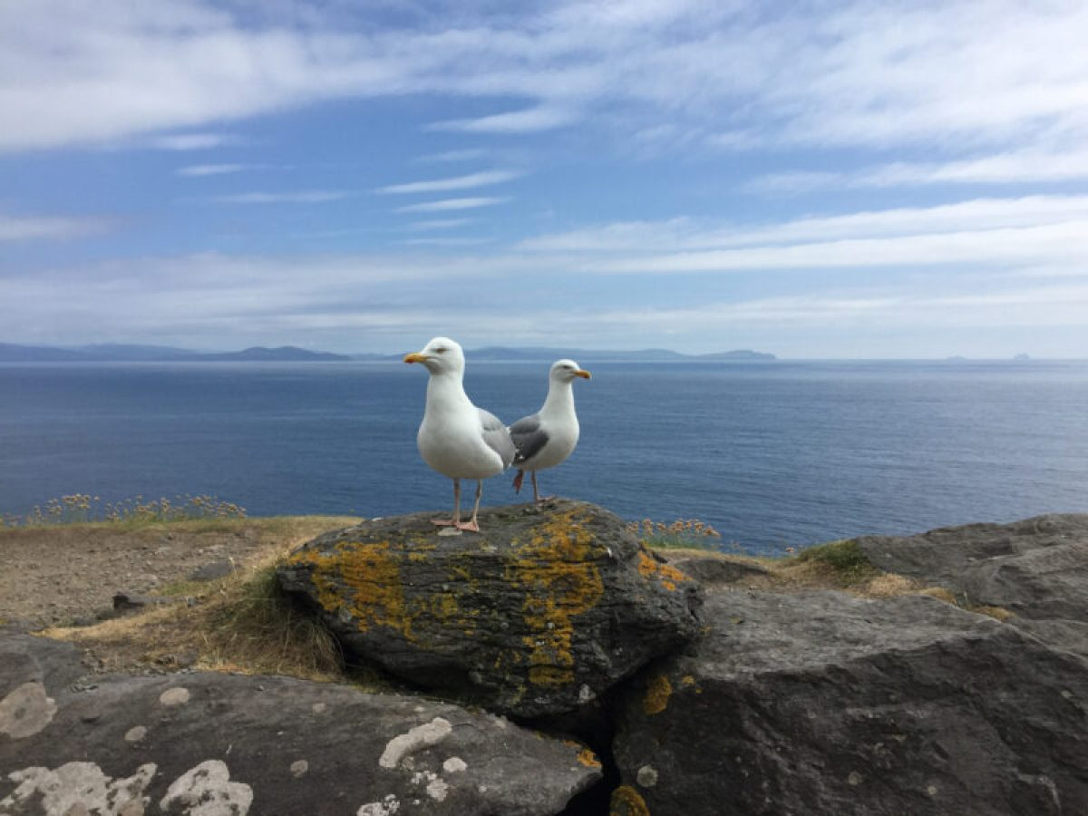 Ireland sea birds