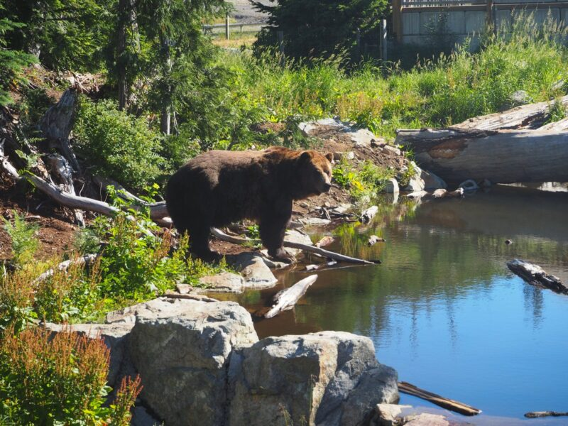 Breakfast with the bears on Grouse Mountain, Vancouver