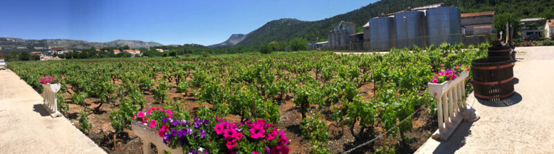 Plavac Mali grape vines at a Peljesac Peninsula winery making wonderful Croatian dingac wine