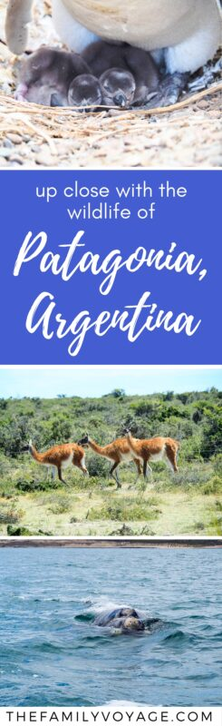 Are you trying to decide where to go in Argentina? Make sure to visit Puerto Madryn in northern Patagonia for an amazing wildlife tour! If you're wondering where to see penguins, this tour takes you to UNESCO Heritage Site Estancia San Lorenzo (even better than Punta Tombo!). You'll go whale watching, eat at a traditional estancia, walk with penguins and more in just one day. #Argentina #Patagonia #PuertoMadryn #wildlife #animals #travel