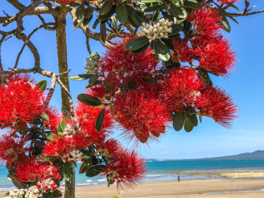 New Zealand Christmas Tree in foreground, South Island New Zealand beach in background
