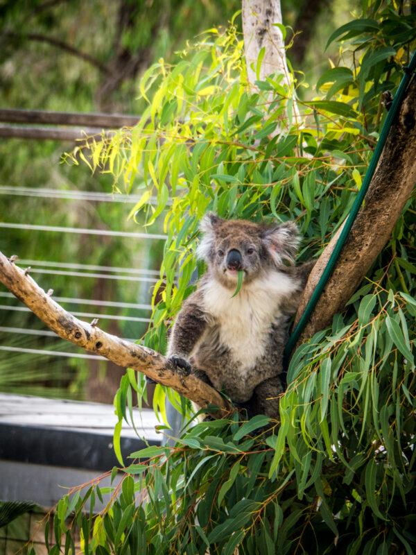 where to see koalas in western australia: yanchep national park