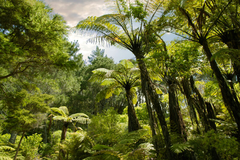 New Zealand rainforest on North Island
