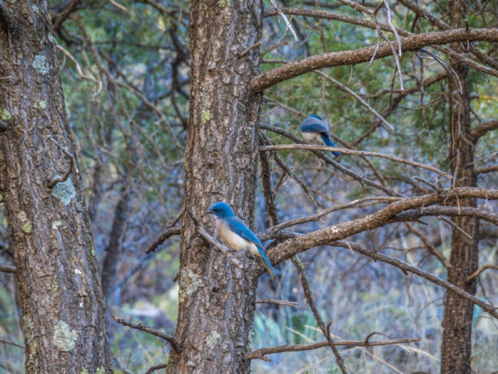 Mexican Jay bird perched on a tree branch in the woods at Big Bend National Park, Texas