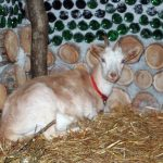 Goat in the barn at Tenth Village Farm