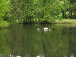 The ducks on the pond