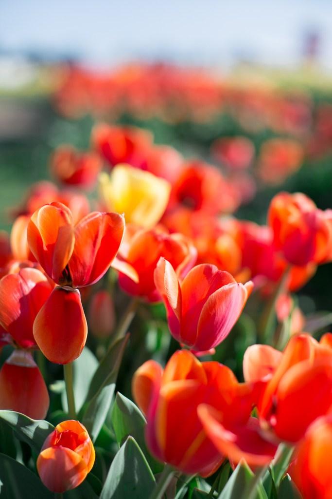 Texas-Tulips-3948