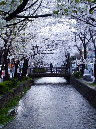 kyoto during cherry blossom season