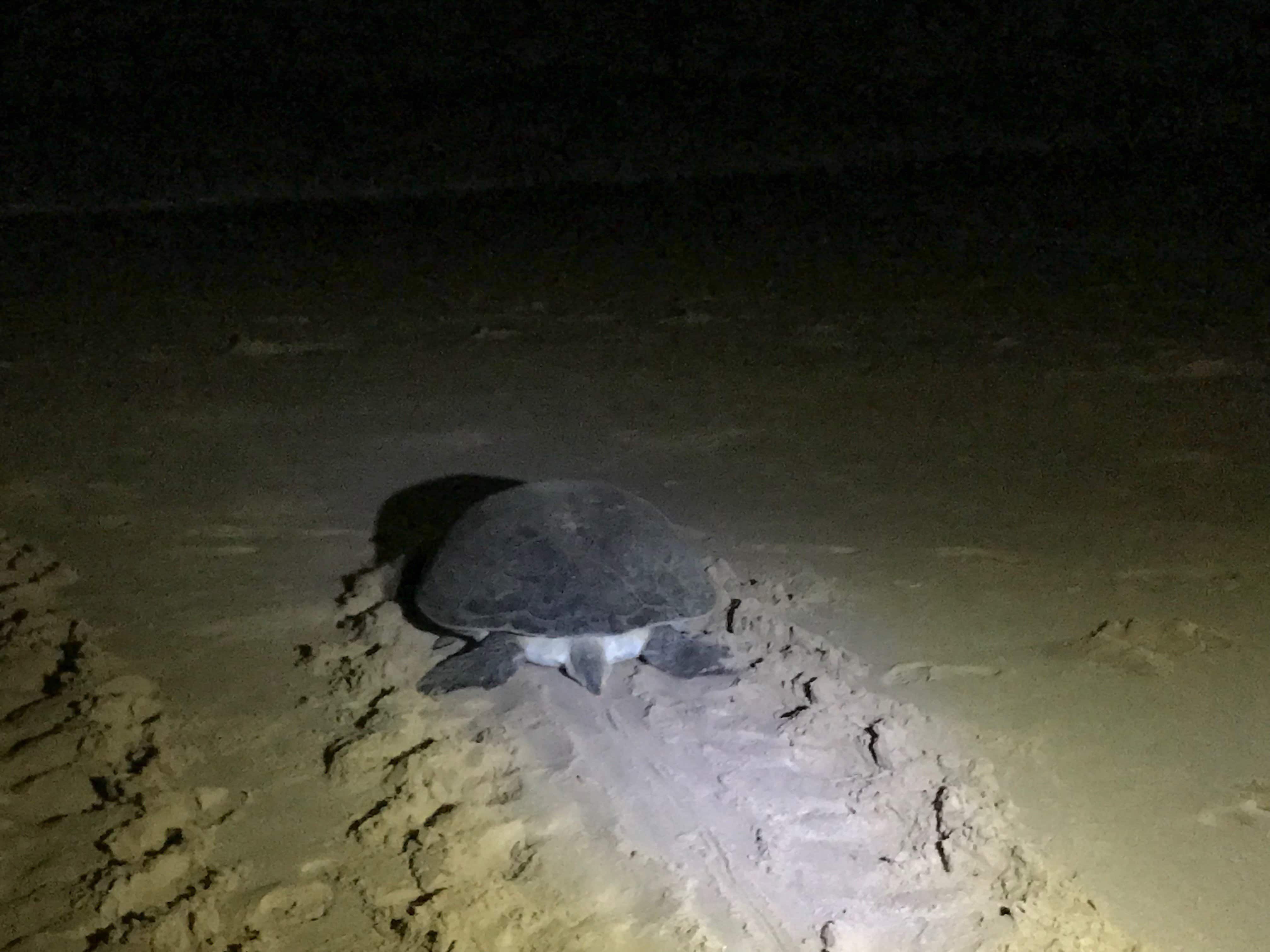 a turtle crawls through the sand to the ocean