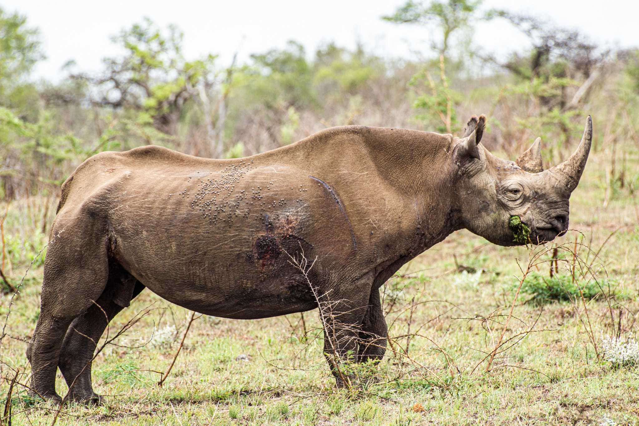 The profile of a black rhino that has a large cut on its stomach - south africa vacation