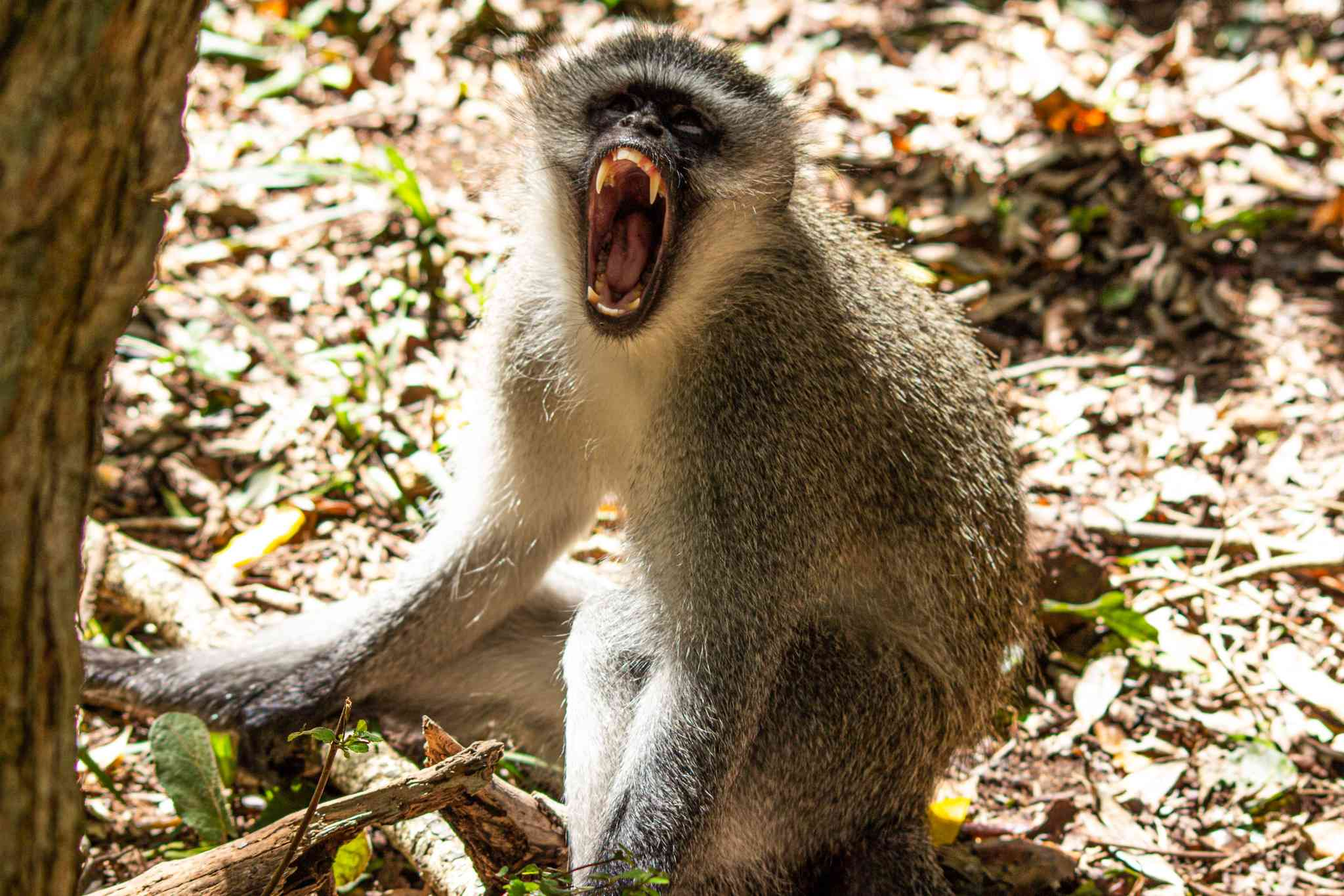 a monkey showing its teeth in the forest