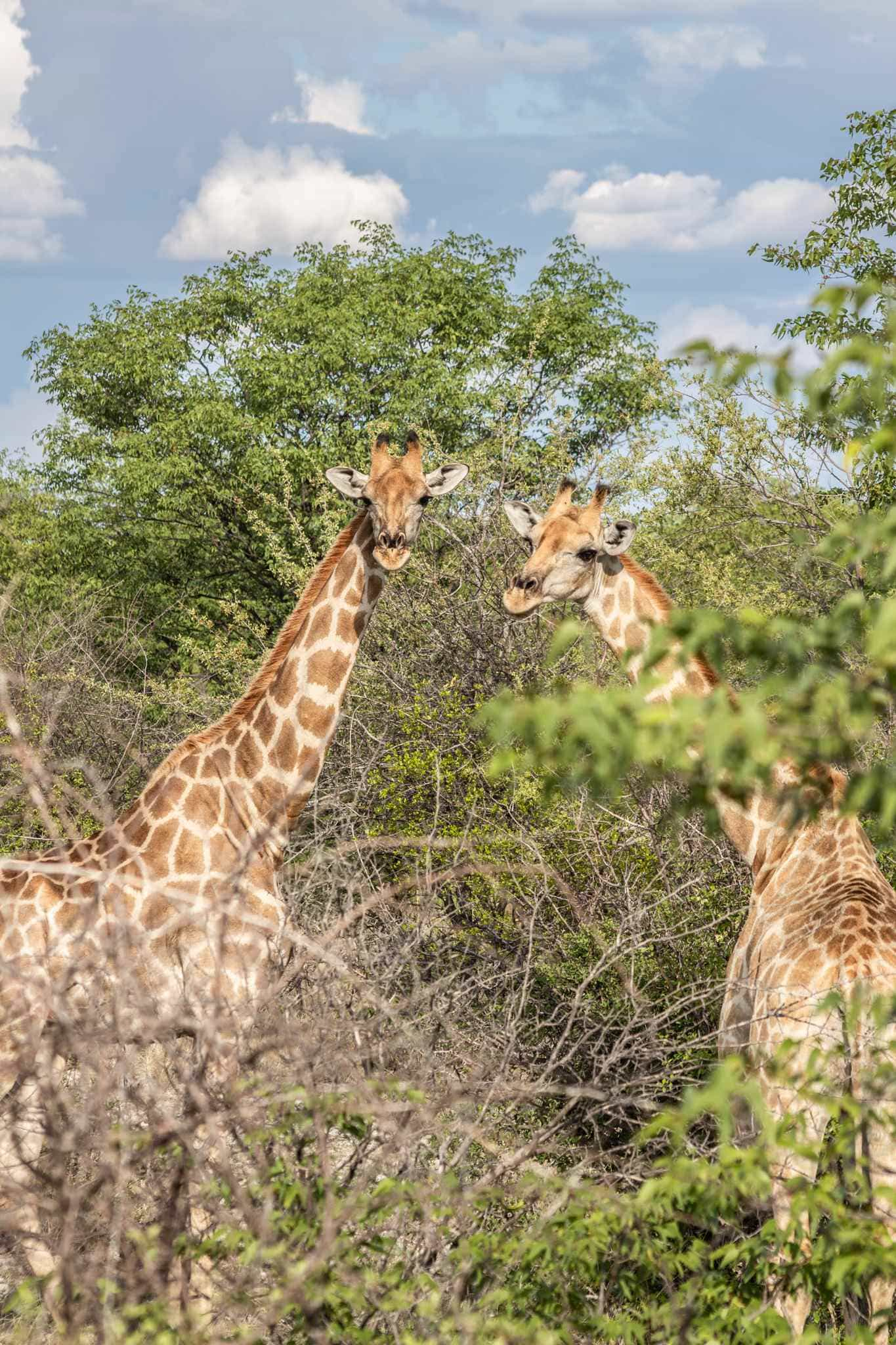 two giraffes in the bush staring at us