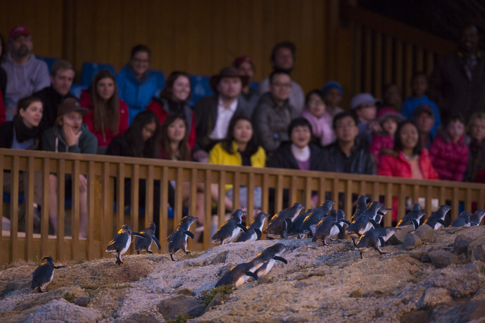 blue penguins, the smallest penguins in the world, waddle over rocks at night