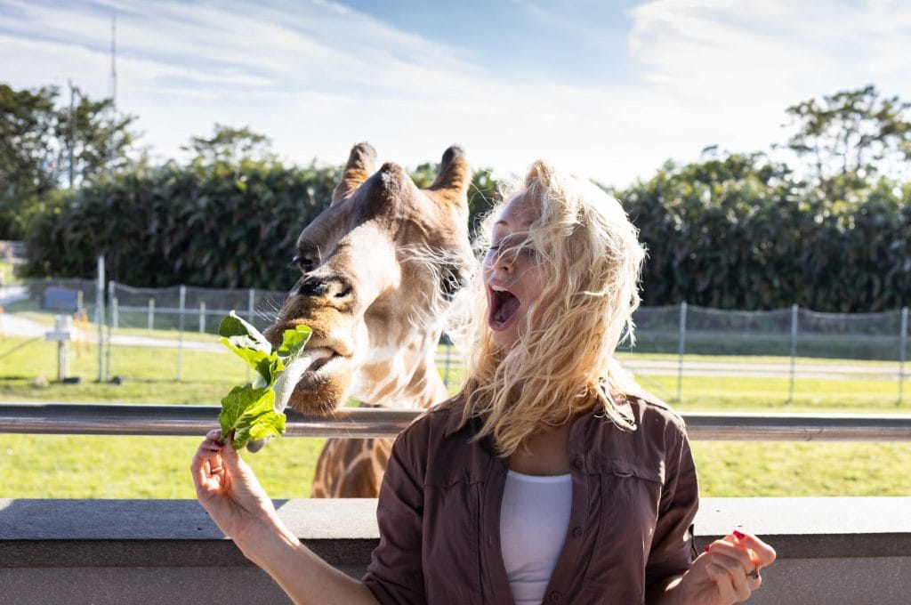 a girl feeds a giraffe at lion country safari the palm beaches
