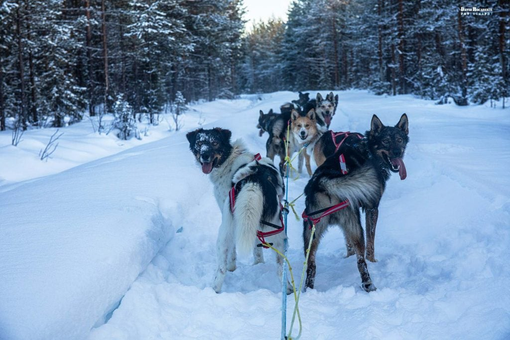 dogs pull a dogsled through the snow on a visit to sweden