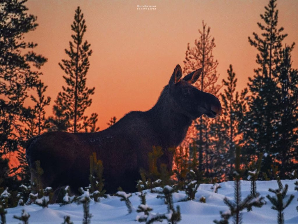a wild moose at sunset in lapland sweden