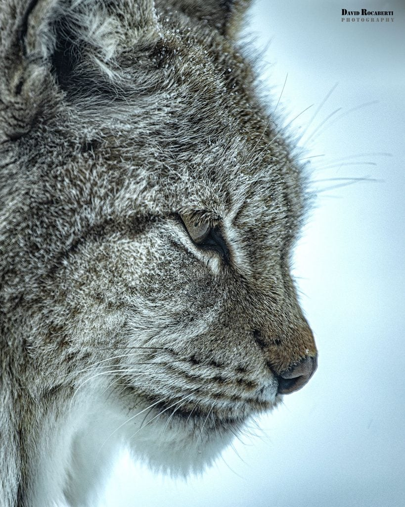 a close up of a lynx at the polar park in narvik