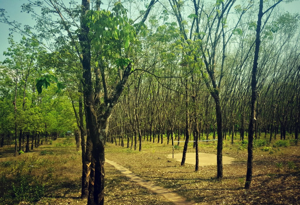 A rubber plantation, its uniform trees the only giveaway it wasn't 100% naturally formed