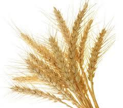 beat oat glucans