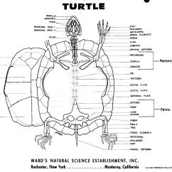 Animal Skull Diagram 2004 F150 Headlight Switch Wiring Turtle Skeleton Reptiles And Amphibians