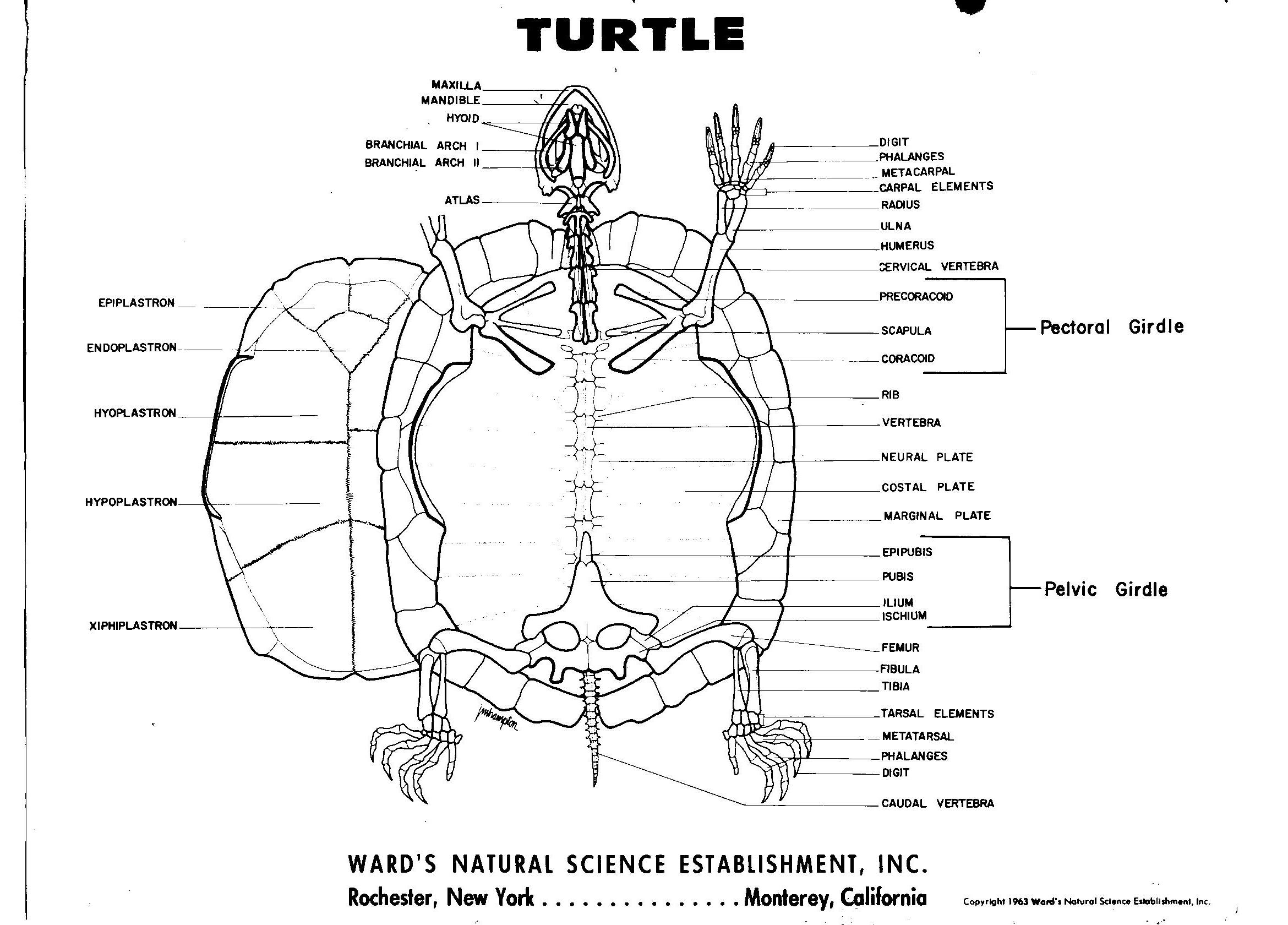 turtle anatomy diagram 1998 ford mustang stereo wiring skeleton reptiles and amphibians