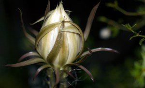 Night-Blooming Cereus bud waiting for the right moment to bloom