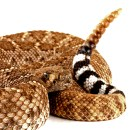 Rattlesnakes in the Sonoran Desert: Close Encounters With The Venomous Kind